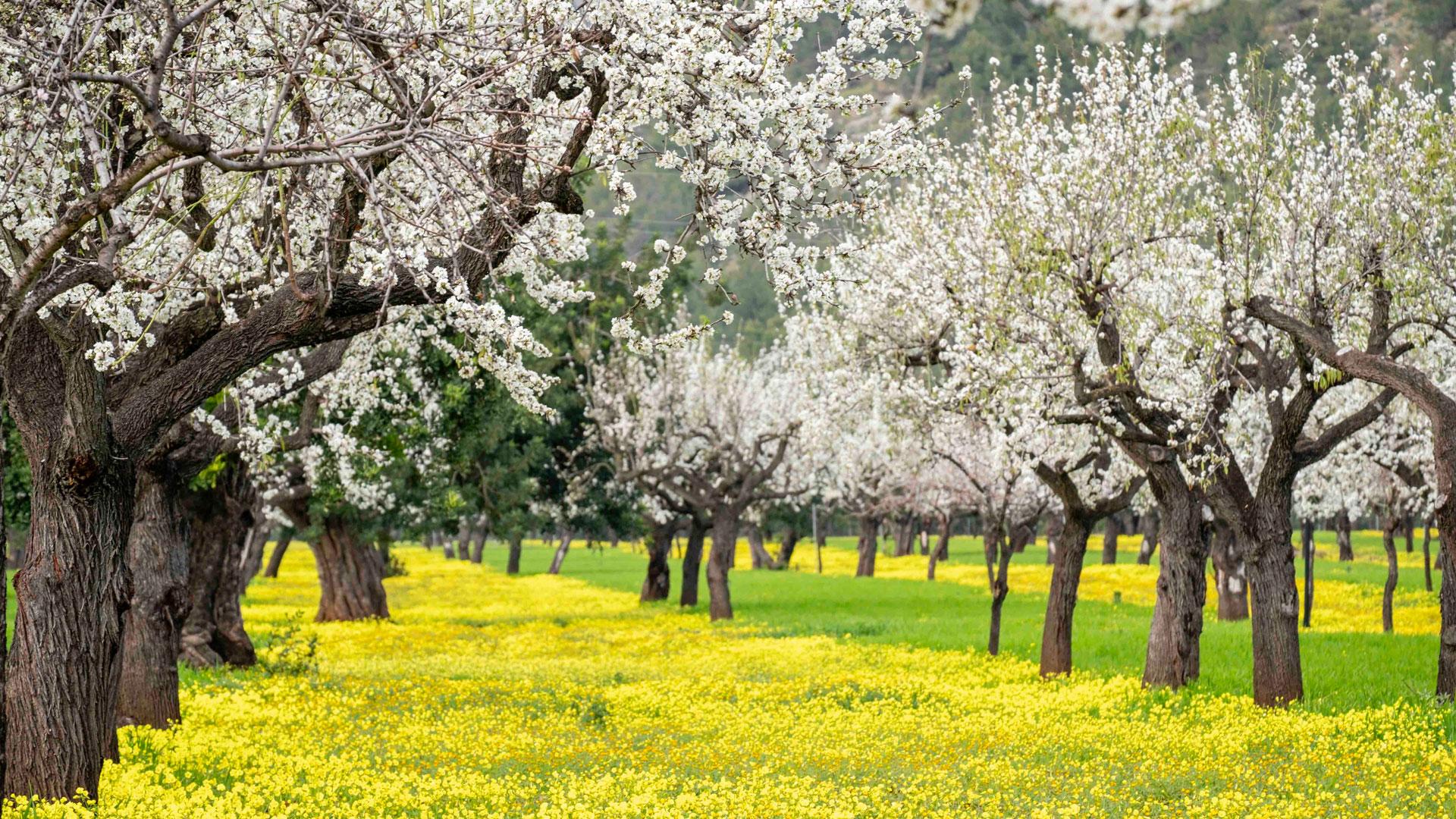 Imagen de almendros en flor
